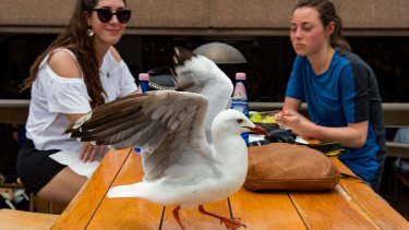 Seagulls are the cause of many complaints to the City of Sydney council, with diners having food ripped from their mouths.