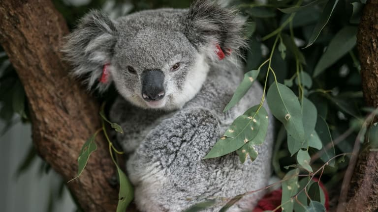 """""""Lucy"""", a female koala sits in an enclosure at the South West WIRES branch awaiting release pending an all clear from the vet. She was found dazed on the side of a busy road in Campbelltown."""