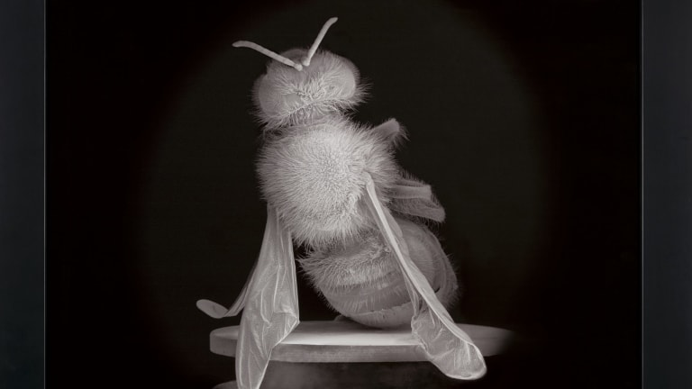 Dead Bee Portrait #2 by Anne Noble.