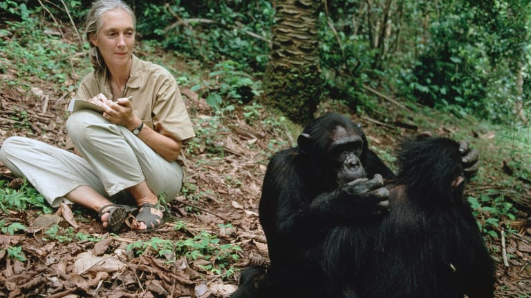 Goodall watches two chimps grooming in Gombe in 2006. She has been observing the primates for almost 60 years.
