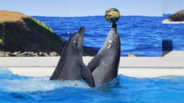 Balancing act: Bottlenose dolphins Bucky and Zippy perform at Dolphin Marine Magic in Coffs Harbour.