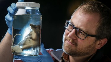 Dr Kevin Rowe of the Museum Victoria, with a specimen of the newly discovered mammal species, the hog-nosed rat, found in Indonesia.