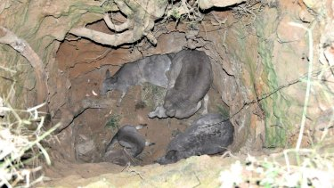 Four kangaroos rescued after falling down mine shaft in Trentham