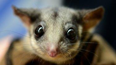 A Leadbeater possum at Healesville Sanctuary.