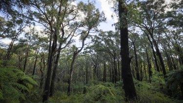 Forest near Toolangi.