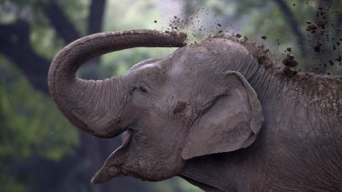 An elephant named Pupi throws dirt on her body at the former Buenos Aires Zoo.