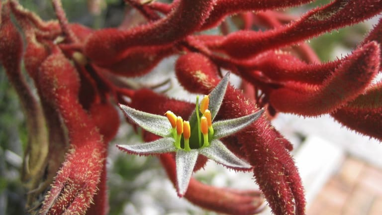 Kangaroo Paw Needs To Be Grown In Exactly The Right Spot And Exactly The  Right Soil