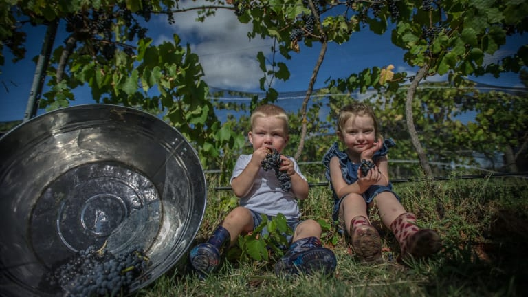 Ryder and Eloise McDougall helping with the grape picking at Summerhill Road Vineyard in Bywong.