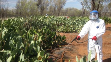 The wrath of weeds: Management of invasive weeds is a major tasks for many Indigenous ranger groups like the Tjuwanpa Rangers who are spraying Prickly Pear near Ntaria.