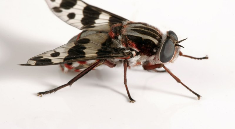 Why do we have so many flies in Australia? Here's swat's what