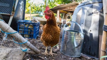 Chickens are kept in the urban vegie garden at Highgate Hill. They eat some of the food and also produce eggs.