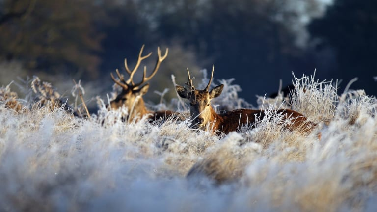 Deer in Bushy Park, south west London, after overnight temperatures fell below freezing across many parts of southern England.