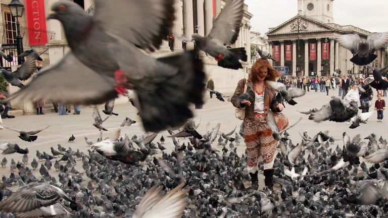 Garema Place and Tuggeranong could start looking like Trafalgar Square, if we keep encouraging the birds, the ACT government says.