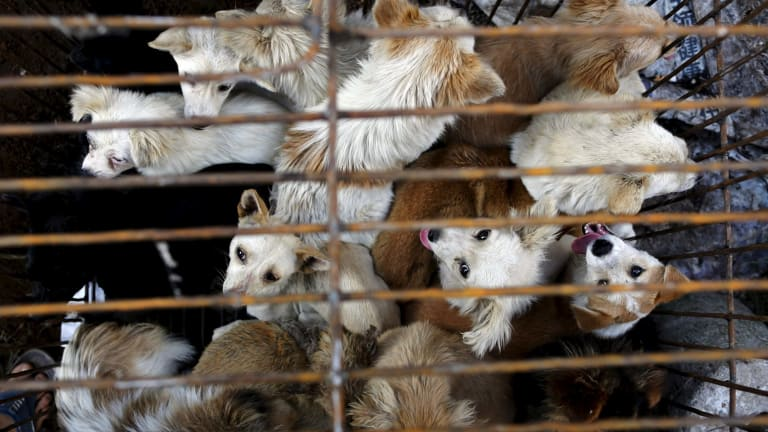 Dogs are kept in a cage ahead of a local dog meat festival in Yulin.