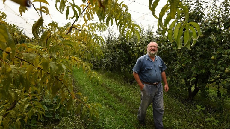 Fruit grower Ed Biel in his orchard on his farm Wanaka at Oakdale.