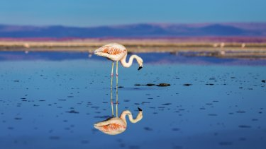 A flamingo in the Atacama Desert in Chile.