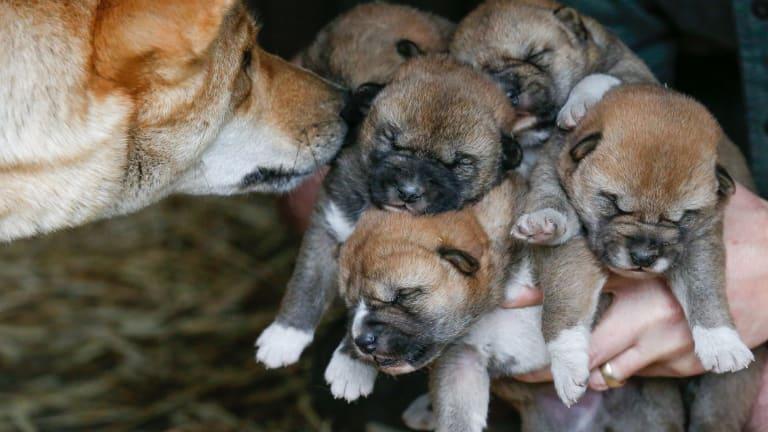 Five endangered dingo puppies born at Australian Reptile Park in June 2015.