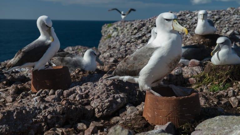 A shy albatross tests its new nest on Albatross Island.