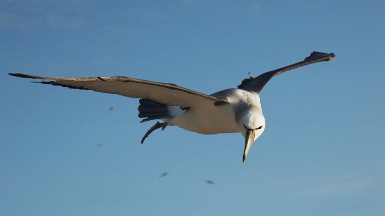 Winging it: a shy albatross (Thalassarche cauta) in flight, near Albatross Island, Tasmania.