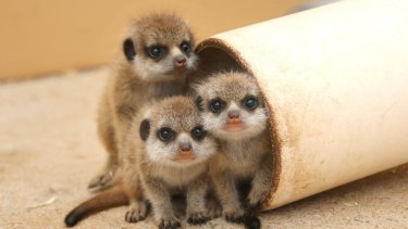 Taronga Zoo has welcomed its largest litter of meerkats ever, with keepers monitoring the progress of six playful pups.