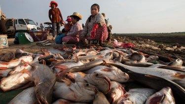 Fish unloaded near Siem Reap, Ton Le Sap Lake, in Cambodia.