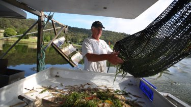 Hawkesbury River fisherman Gary Howard catching school prawns using low impact methods. Among the best rated by Greenpeace are these prawns from the Hawkesbury.