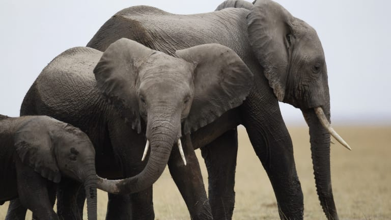 A family of elephants walks after cooling themselves in a pond during a census at the Amboseli National Park, 290km south-east of Kenya's capital Nairobi, in 2013.