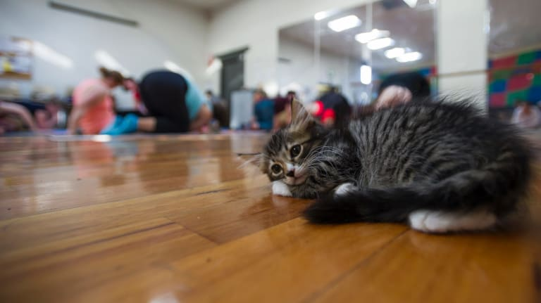A rescue kitten performs 'weaving cat' pose to perfection.