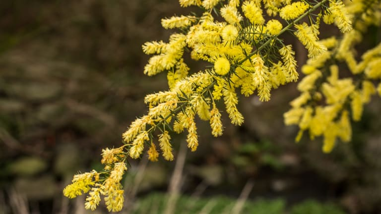 Wattle at Cootamundra Walk, Blackburn.