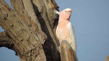A female Major Mitchell's Cockatoo at the entrance to a nest.