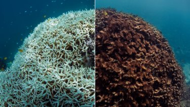 Before (March 2016, left) and after (May 2016) images of coral bleaching and death at Lizard Island on Australia's Great Barrier Reef.