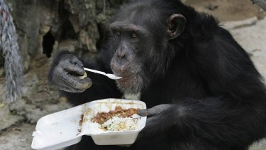 Fish and chimps: a chimpanzee eats its lunch with a spoon at a sanctuary in Colombia.