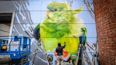 Dvate's orange-bellied parrot.
