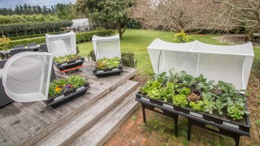 A wicking bed regulates the watering and keeps the bugs at bay.