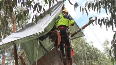 A police officer attempts to remove an anti-logging protester from the treetops.