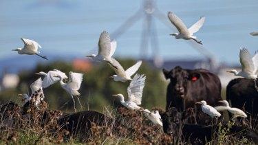 Cattle egrets at Jerrabomberra.