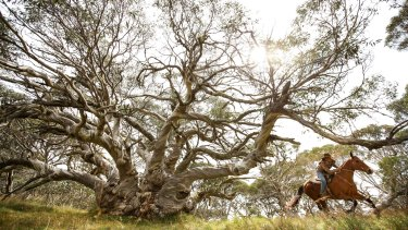 "Cattle woman Kellie Lovick gallops past ""King Billy"" an ancient Snowgum in Victoria's Alpine National Park."