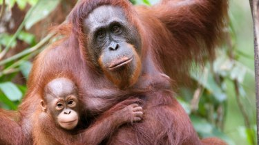 A mother orangutan and her little offspring in Borneo.