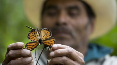 A guide holds up a damaged and dying butterfly at the monarch butterfly reserve in Piedra Herrada, Mexico.