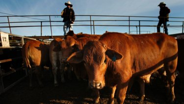 """Wellard said cattle prices in Australia remained """"uneconomically high"""" as farmers held stock and grew their herds."""