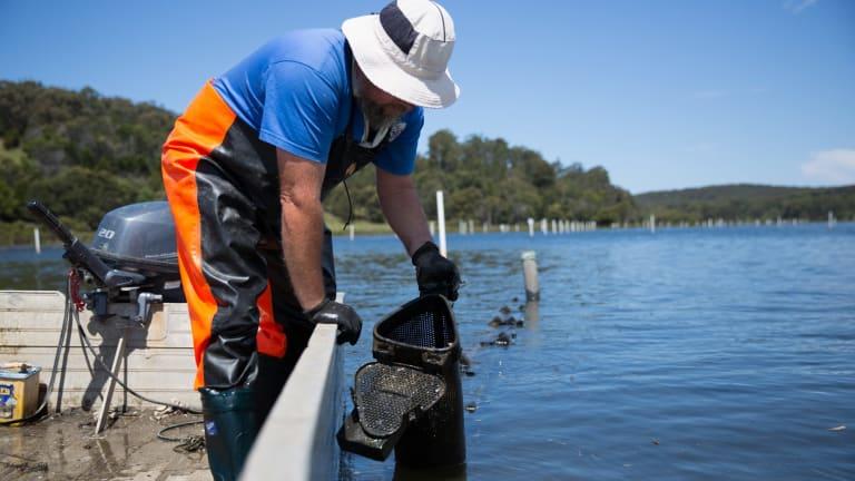 Shane Buckley cultivating oyster on his farm.