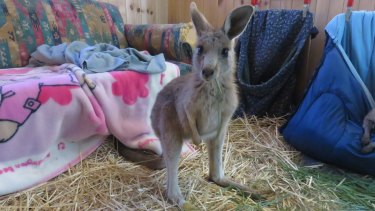 An orphaned joey from the Lancefield fire that was raised and cared for by the Pastoria East Wildlife Shelter.