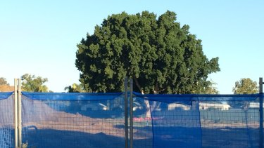 A ficus cut down on a Gwelup development site, despite its position on the boundary.