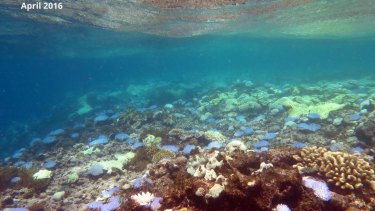 Extensive bleaching of Acropora corals on the reef crest of North Direction Island, April 2016.