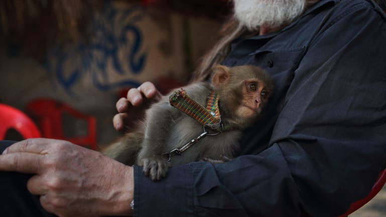 Gittoes' pet monkey, Tim Tam in the yard of the Yellow House in Jalalabad.