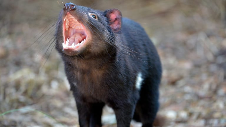 Tasmanian devils living in the south-west of the island may have blown their cover.