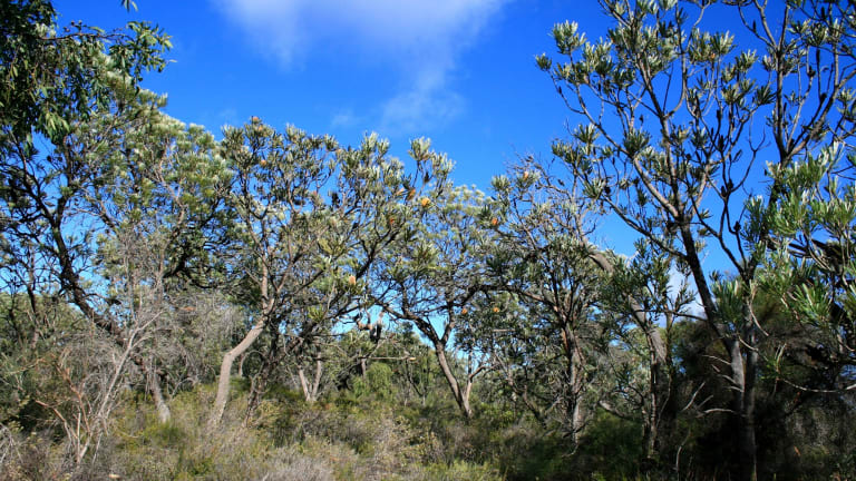 Perth's the only place on earth that has banksia woodland as the dominant vegetation type. Pictured is the Melaleuca Park area north of Gnangara.