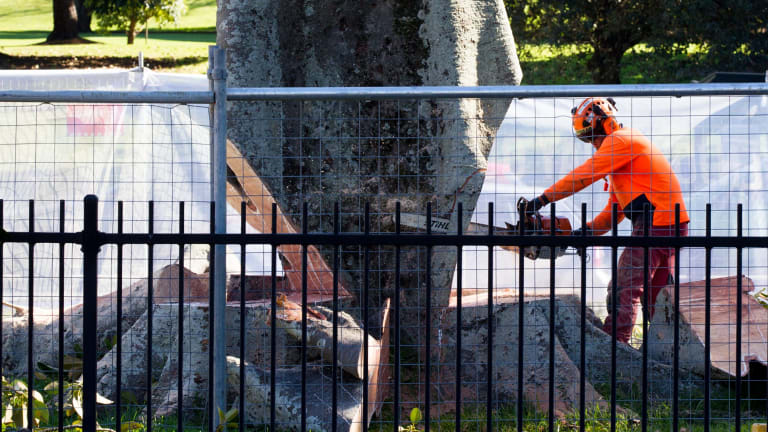 The first of the six Anzac Parade Moreton Bay fig trees scheduled for destruction comes down on Tuesday to make room for the light rail in Sydney.
