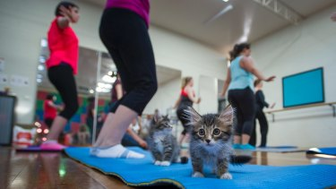 The first ever Canberra session of Cats on Mats yoga kicked off on Friday 20, 2017 in Macquarie.