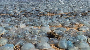 Thousands of jellyfish wash up onto the beach at Bells Beach on the Redcliffe Peninsula.